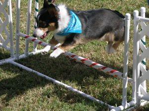 Corgi taking a jump