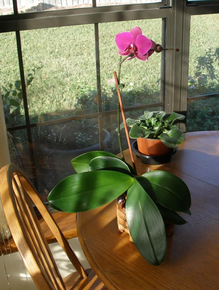 Purple Phalaenopsis hybrid orchid