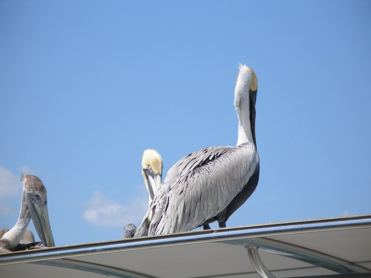 Pelicans perched on top of the fish cleaning tables where the deep sea fishing boats dock.
