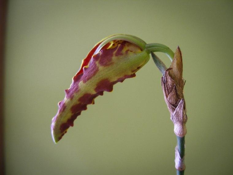 "Psycopsis Mariposa ""Green Valley"" Day 1"