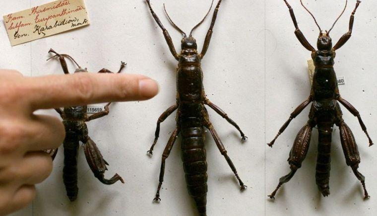 Near extinct Tree Lobster, Oh Boy!